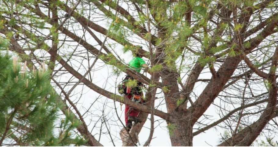 Climber from Emondage Chambly working high up in a pine tree.