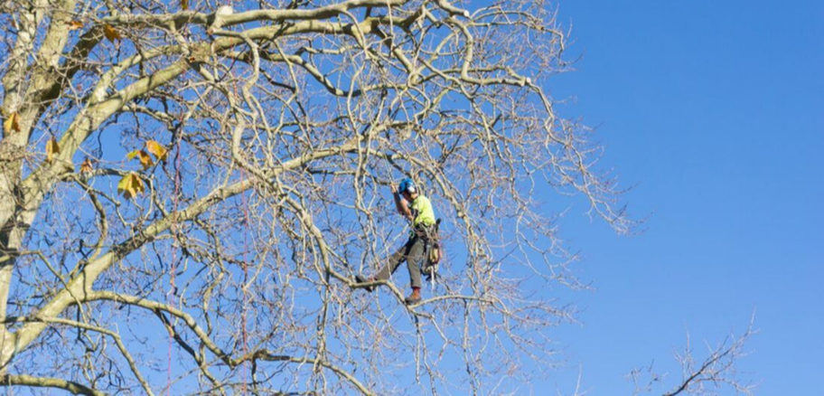 Climber from the company Emondage Chambly doing pruning work in Chambly